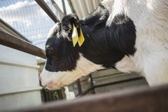 A Cow in a Cowshed. A young, black and white colored cow standing in its cowshed royalty free stock image