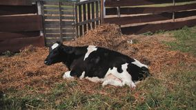 A young black and white cow lies in the hay in the village. stock footage