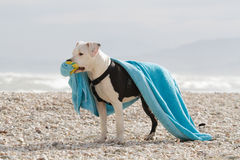 Young black and white dog playing with towel Royalty Free Stock Photo