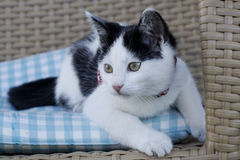 Young black and white kitten Stock Images