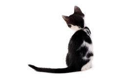 Young black and white kitten Stock Photography