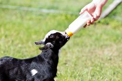 Young black and white miniature goat kid Stock Image