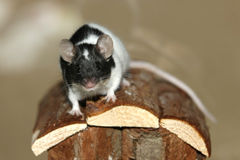 Young Black and White Mouse Royalty Free Stock Image