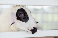 A young black and white sheep with white fence. Sheep face. white and black face Stock Image