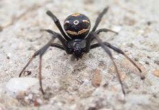 Young black widow spider on cement Stock Photography
