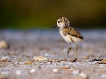 Young black winged stilt stock image