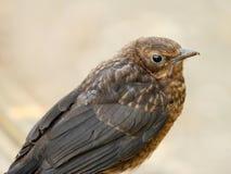 Young Blackbird Royalty Free Stock Photos