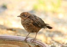 Young Blackbird Stock Image