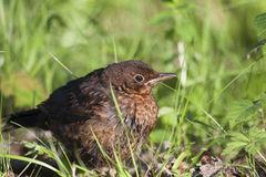 Young blackbird Royalty Free Stock Image