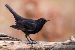 Young Blackbird Stock Photos