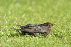 Young Blackbird on Lawn Stock Photos
