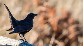Young Blackbird's Profile Stock Image