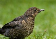 Young Blackbird. Royalty Free Stock Photos