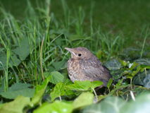 Young blackbird Royalty Free Stock Photography