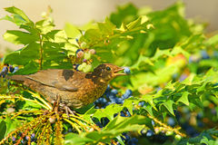 Young Blackbird, Turdus merula, feeding on ripe Mahonia aquifolium berries . Royalty Free Stock Images