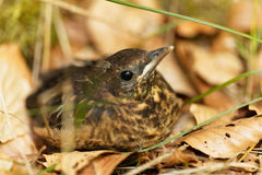 Young Blackbird Turdus merula. A young Blackbird Turdus merula after leaving the nest stock image