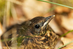 Young Blackbird Turdus merula. A young Blackbird Turdus merula after leaving the nest stock photo