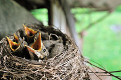 Young blackbirds Royalty Free Stock Image
