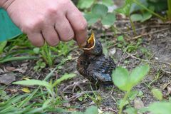 Young blackbirds gets feed a worm Stock Photo