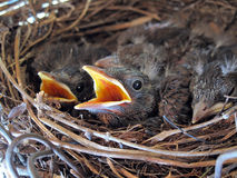 Young blackbirds in their nest #2. Young blackbirds in their nest awaiting the busy mother sampling food Stock Photography