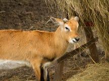 Young blackbuck antelope eating straw Royalty Free Stock Photo