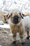 Young blacknose sheep with bell Stock Images