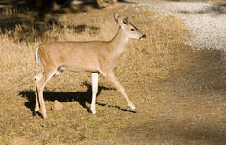 Young blacktail buck Stock Image