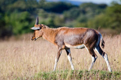 Young Blesbok from side Stock Images
