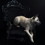 Young blonde female Dutch Shepherd Royalty Free Stock Images
