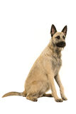 Young blonde female Dutch Shepherd Stock Photography