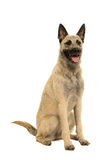 Young blonde female Dutch Shepherd Stock Image