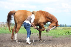 Young blonde woman asking chestnut horse to bow Stock Photos