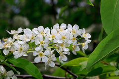 Young blooming bird cherry. Royalty Free Stock Image