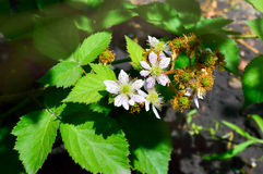 Young blooming blackberry with berries Stock Photography
