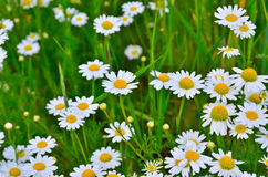 Young blooming chamomile in a summer field Stock Images
