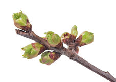 Young blossoming buds Royalty Free Stock Photo