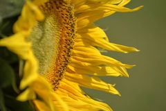 Young blossoming sunflower plant close up. Shallow depth of field. Royalty Free Stock Photography