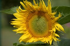 Young blossoming sunflower plant close up. Shallow depth of field. Sunny day. Royalty Free Stock Photography