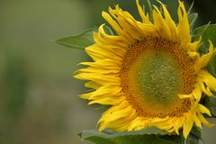 Young blossoming sunflower plant close up. Shallow depth of field. Sunny day. Royalty Free Stock Images