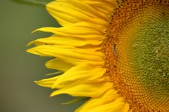 Young blossoming sunflower plant close up. Shallow depth of field. Stock Image