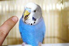 Young blue budgerigar and human finger Royalty Free Stock Photo