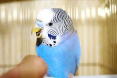 Young blue budgerigar and human finger Stock Photos