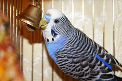 Young blue budgerigar is pecking a golden bell Stock Photo
