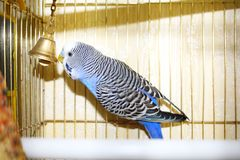 Young blue budgerigar is pecking a golden bell Royalty Free Stock Photo