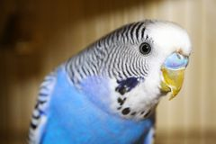 Young blue budgerigar portrait Royalty Free Stock Photography