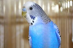 Young blue budgerigar portrait Royalty Free Stock Photo