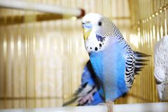 Young blue budgerigar is stretching his wing Stock Photography