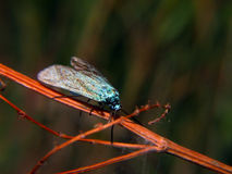 Young blue buterfly Royalty Free Stock Image