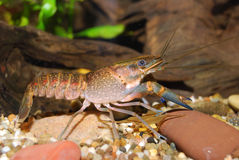 Young blue crayfish Royalty Free Stock Photos