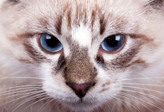 Young blue-eyed cat Stock Image